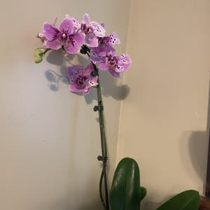 phalaenopsis orchid plant photo by Marblequeen named Cher on Greg, the plant care app.