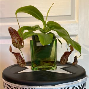 Nepenthes inermis plant photo by Chameleongarden named Kendra on Greg, the plant care app.