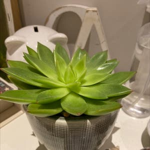 Rating of the plant Lipstick Echeveria named bob <3 by Plantloverrrr on Greg, the plant care app