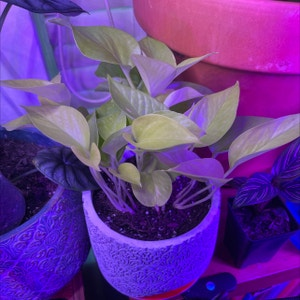 Rating of the plant Neon Pothos named Athena by Black juju on Greg, the plant care app