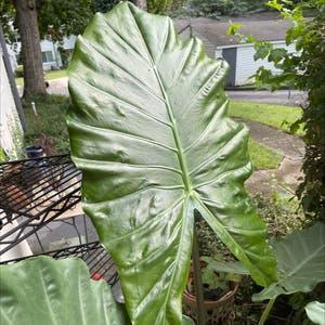 Kuching Mask Elephant Ear plant photo by Jujubeans named Maya on Greg, the plant care app.