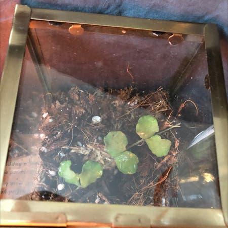 Photo of the plant species Hoya kanyakumariana by Aliza named Kumari on Greg, the plant care app