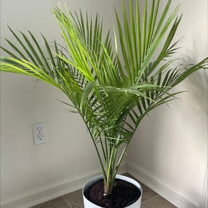 Majesty Palm plant photo by Divinetreasures named Mon on Greg, the plant care app.
