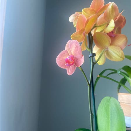 Photo of the plant species orchid by Purplemoon named Orchid on Greg, the plant care app