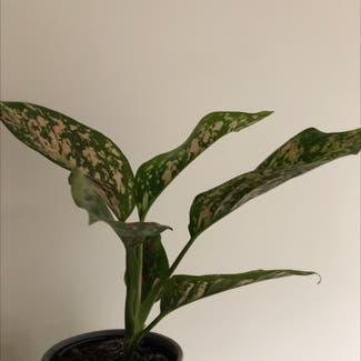 Dieffenbachia plant in Highett, Victoria