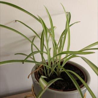 Spider Plant plant in Highett, Victoria