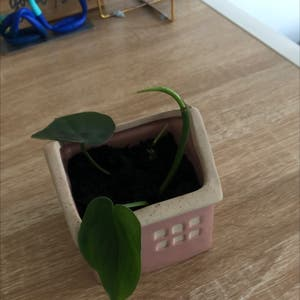 Heartleaf philodendron plant photo by Ava named Philly on Greg, the plant care app.