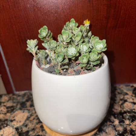 Photo of the plant species Sedum Cape Blanco by Melusere9cc1e65 named Blanco on Greg, the plant care app