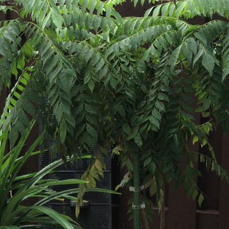Photo of the plant species Murraya Koenigii by Steph named Curryian on Greg, the plant care app