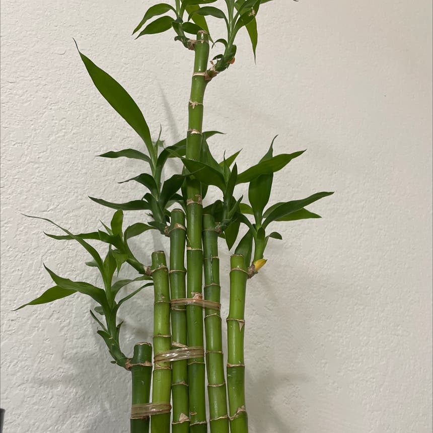 Lucky Bamboo plant in Miami, Florida
