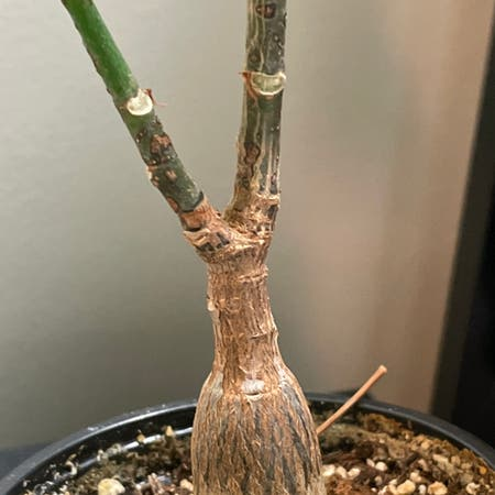 Photo of the plant species Dr Seuss Tree by Sandstep named Bombax Two on Greg, the plant care app