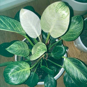 Rating of the plant Philodendron 'Birkin' named Mollie by Narelle on Greg, the plant care app