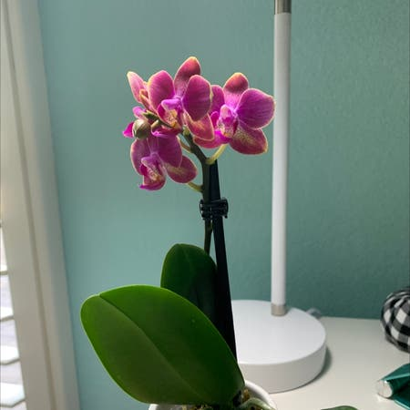 Photo of the plant species darling orchid by Julia named Lola on Greg, the plant care app