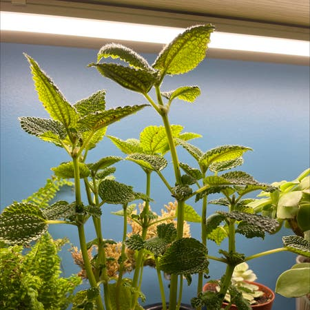 Photo of the plant species Lemon Balm by Arobrobrob named Elle on Greg, the plant care app