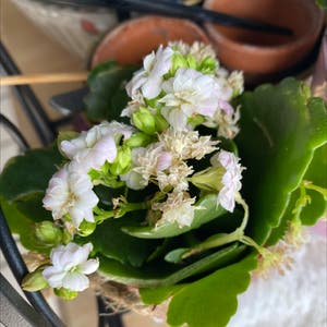 Rating of the plant Florist Kalanchoe named Surya by Rebecca on Greg, the plant care app