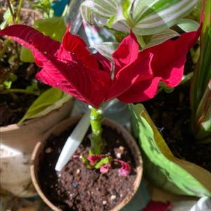 Poinsettia plant photo by Rebecca named Netta on Greg, the plant care app.