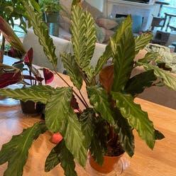 Furry Feather Calathea plant