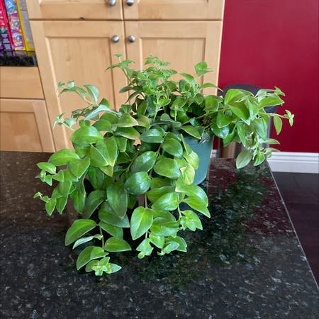 Photo of the plant species Smilax by Pmeyerpeter named Floppy on Greg, the plant care app