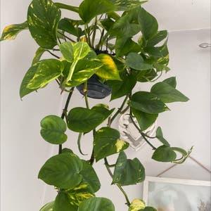 Golden Pothos plant photo by Melissa named Devil on Greg, the plant care app.