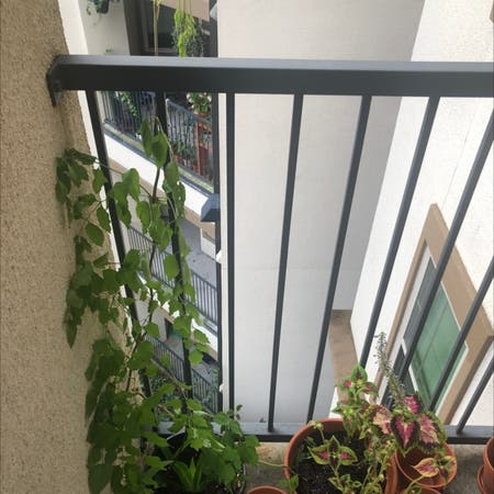 Photo of the plant species Hummingbird Vine by Coachrobert named Your plant on Greg, the plant care app