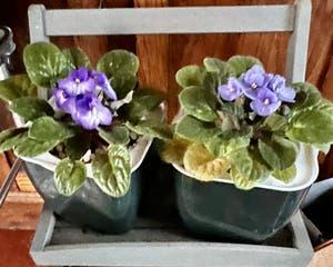 Kenyan Violet plant photo by R_l15748 named Jack & Jill on Greg, the plant care app.