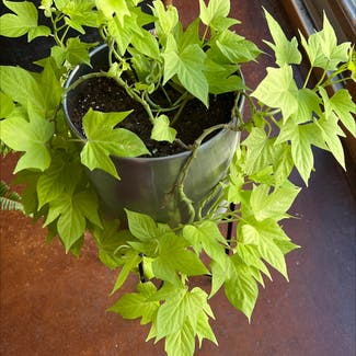 Sweet Potato Vine plant in Somewhere on Earth
