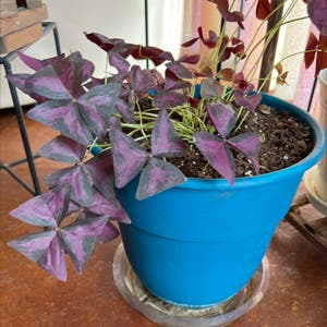 Purple Shamrocks plant photo by R_l15748 named Lucky on Greg, the plant care app.