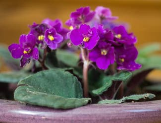 Kenyan Violet plant in Somewhere on Earth