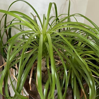 Ponytail Palm plant in Somewhere on Earth