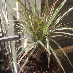 Dragon tree plant photo by R_l15748 named Draco on Greg, the plant care app.