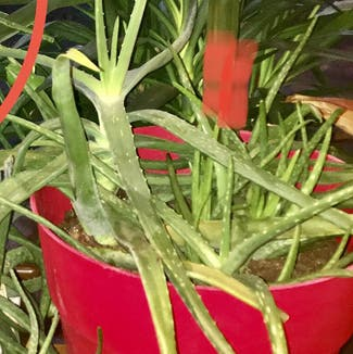 Aloe vera plant in Somewhere on Earth