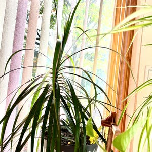 Dragon tree plant photo by R_l15748 named Drake on Greg, the plant care app.