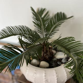Sago Palm plant in Somewhere on Earth
