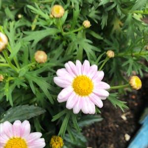 Marguerite daisy plant photo by Flourishinghaven named Orlando Bloom on Greg, the plant care app.