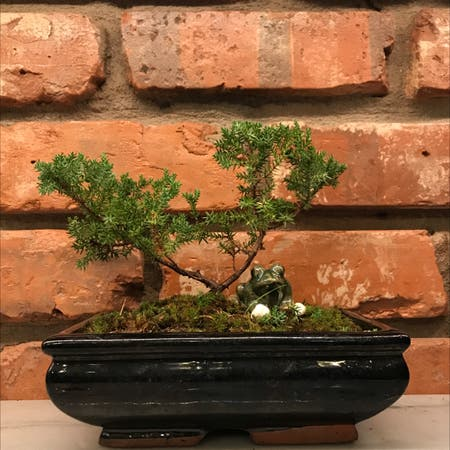 Photo of the plant species American common juniper by Shortiecar named Bobith on Greg, the plant care app
