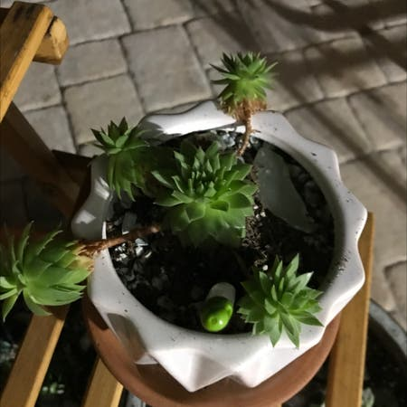 Photo of the plant species Hens and Chicks by Psdtaylor named Your plant on Greg, the plant care app