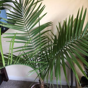Majesty Palm plant photo by Ofmiceandmaggie named Walter on Greg, the plant care app.