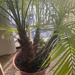 Pygmy Date Palm plant photo by Doonok named Playa on Greg, the plant care app.