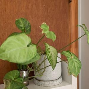 Arrowhead Plant plant photo by Izabela named marla on Greg, the plant care app.