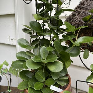 Waxvine plant photo by Jan named Hoya Australis on Greg, the plant care app.