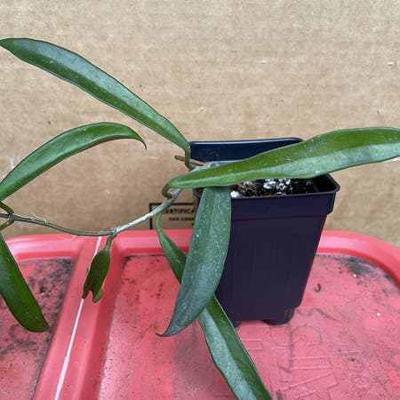 Photo of the plant species Hoya Minibelle by Jan named Hoya Minibelle on Greg, the plant care app