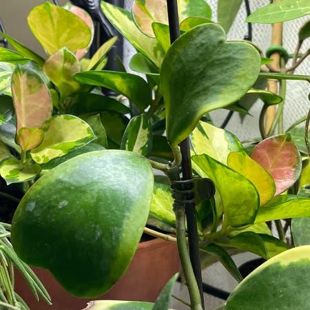 Photo of the plant species Sweetheart plant by Jan named Hoya Kerri Albomarginata 1 on Greg, the plant care app