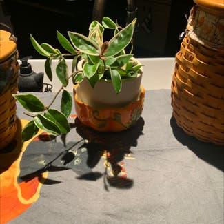 Waxplant plant in Ephrata, Pennsylvania