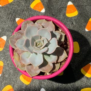 Echeveria Lola plant photo by Bigshe64 named Etch on Greg, the plant care app.