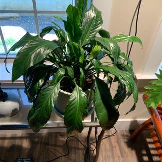 Peace Lily plant in Ephrata, Pennsylvania