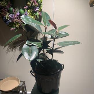 Rubber Plant plant in Ephrata, Pennsylvania
