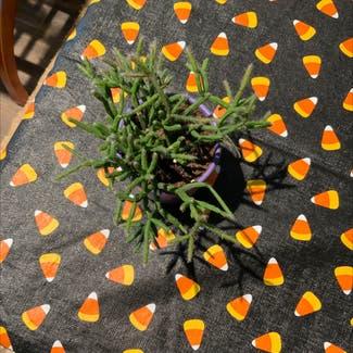 Mistletoe Cactus plant in Ephrata, Pennsylvania