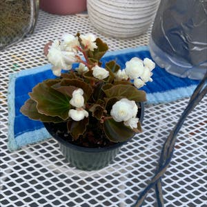Begonia cucullata plant photo by Lulu_h named brighton on Greg, the plant care app.