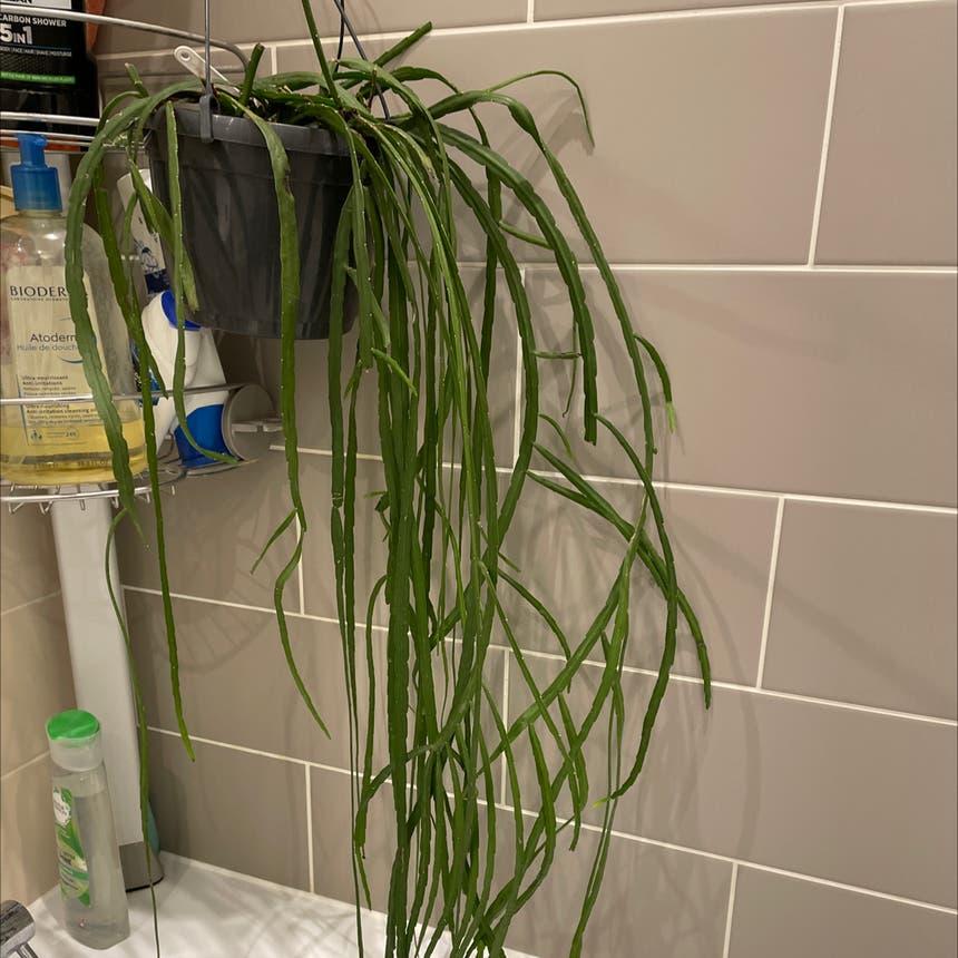 Mistletoe Cactus plant in London, England