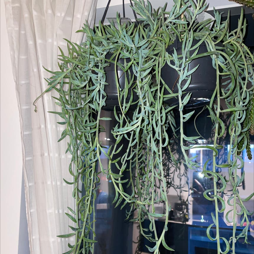 String of Bananas plant in London, England